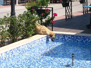 local hound stops off for a cooling drink